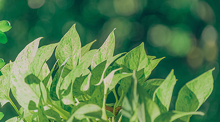 saffraan groene thee